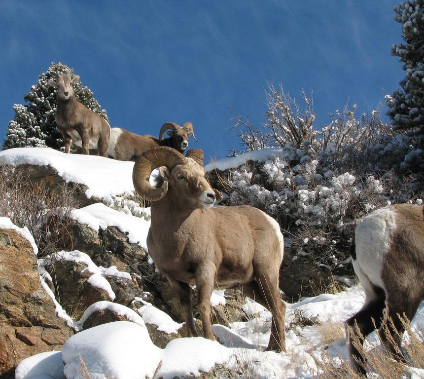Snow sheep