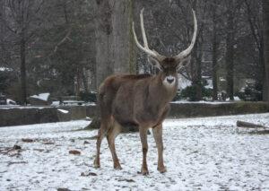 Thorolds-deer
