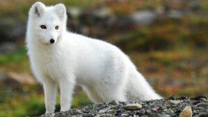 american arctic fox