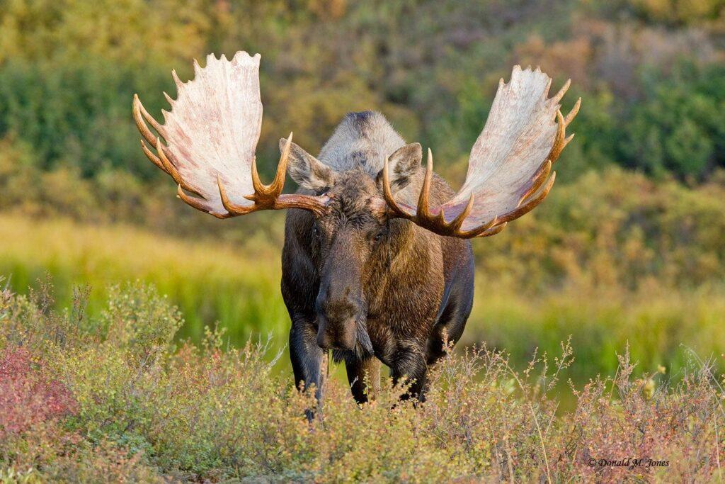 asia elk