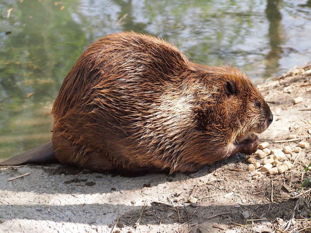 north-american-beaver