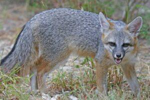 american grey fox